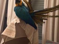Ara Macaw with 2 years of age. accustomed to humans,
