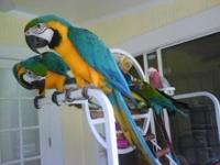 Hello, we have these Excellent Blue and Gold Macaw