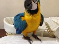 Nice Blue and gold macaw pairs, hand reared,