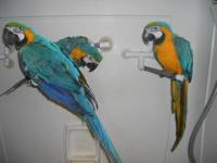 This is the larger type of BG macaw with a very long