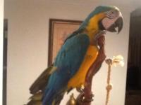 Beautiful blue and gold macaw tame talks very friendly