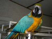 BEAUTIFUL BLUE AND GOLD ADULT MACAW ... HAS LARGE