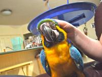 I have pretty and inteligent blue and gold macaw 15