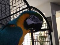 I have two young blue and gold macaws. They are both