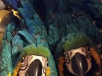 Blue and Gold Macaws, DNA sexed females, 12 weeks old