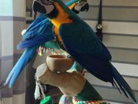 Blue and Gold macaws hand reared ready to leave.Birds