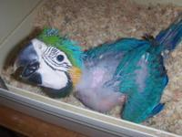 We have two infant Blue and Gold Macaws that were