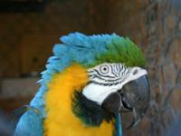 Approx 7 year old blue and gold male macaw. I got him