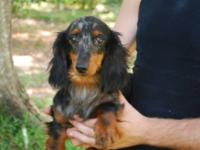 Gypsy is a blue dapple female tween size Doxie. She is
