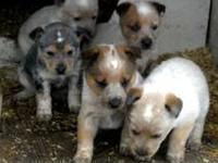 Beatuiful Blue and Red heelers, first shot, tails