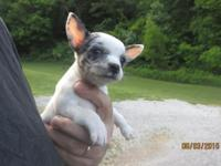 awesome blue and white merle Chihuahua female born may