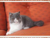 Blue and White Exotic Shorthair Female- 4 months old.