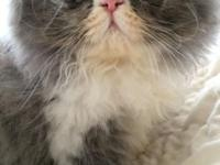 Blue and white male pure persian, CFA-registered