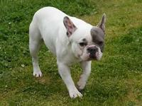 Ty is a handsome un-papered French Bulldog. We have had
