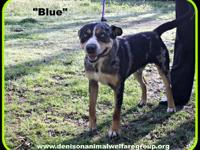 STRAY HOLD IN THE CITY POUND; 1803066 - Blue - young