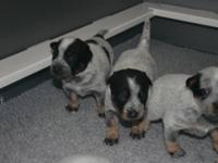 Beautiful purebred Australian Cattle Dog puppies born