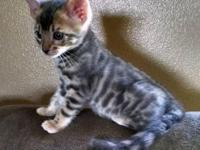 I have a playful, sweet, beautiful, male Bengal kitten