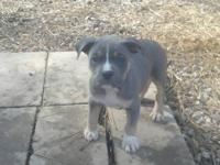 UKC registered pitbull pups. blue tris & trindle 2