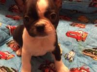 Hi my name is jay I am a Blue Boston Terrier male