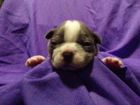 Blue Boston Terrier guy puppy his Dob 4-12 he will