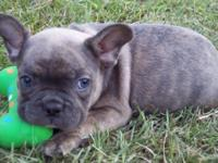 AKC Reg male french bulldog 6wks old and will be ready