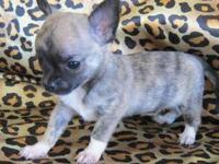 Blue Brindle Short Coat Male Chihuahua. He is the