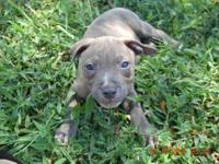 I have one blue brindle male available. He is 8 weeks
