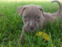 I have a blue brindle male available. He was born June