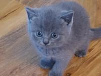 We got Stunning BSH kittens for sale looking for loving
