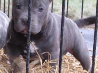 I have a lovely short thick amazing blue 3 month old