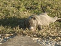 Blue bully pups Born 10-6-14...Puppies are up to date