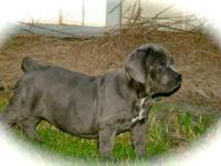 Dream Team Kennels Est. 1998. We have 1 REMARKABLE blue