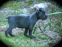 Dream Team Kennels Est. 1998 We have 1 blue male for