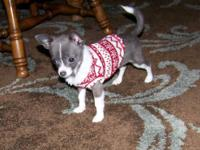 Chihuahua female blue/white medium coat, 4 months old