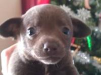 CKC male Chihuahua puppies, solid blue & white with