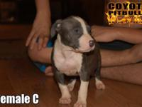 We have 4 Classic American Bully females available off