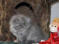 Blue Cream Persian show girl / CFA Register excellent