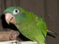 Blue Crown Conures are terrific pets and can be