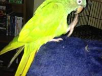 Looking to find a new home for my blue crown conure