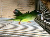 I have a Blue-crowned Conure pair for sale. They are a