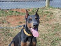 AKC Blue Male AKC Doberman Puppy for sale. Tail docked