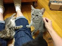 Blue's story 12 weeks old mid-July, silver tabby Blue