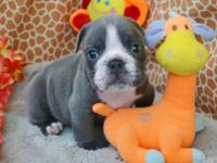 rare color BLUE English bulldog 5 wks before you call.