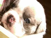 Blue male English bulldog puppy in need of a good