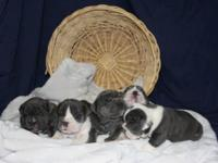 English Bulldog Puppies ready to go to new homes on