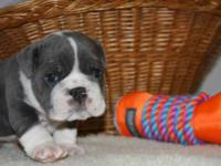 We have a litter of beautiful blue English bulldog