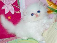 Ready to go to a new home white Persian female kitten.