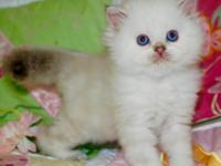 Silver point Persian male . Pics update, CFA certified,
