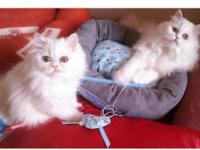 BLUE EYED Chinchilla persian kittens, Male & Female,