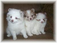 GORGEOUS, SWEET, CLEAN & HEALTHY MALE POMERANIAN